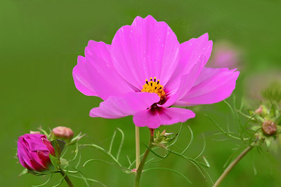 Pink Cosmos Portriat on Green