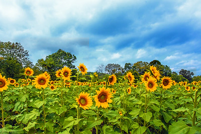 Sunflower Field and Breaking Storm