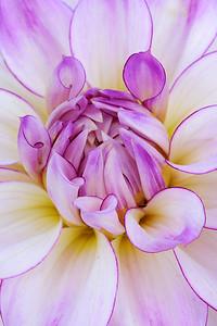 Lavender and White DAhlia Portrait