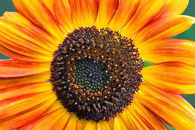 Orange and Yellow Sunflower Portrait