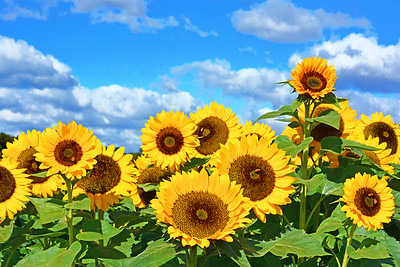 Sunflower Faces to the Sun