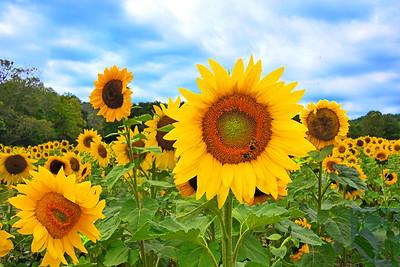 Sunflower Field Beauty