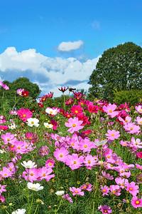 Cosmos Floral Landscape