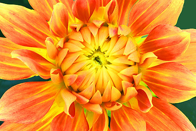Dahlia Portrait in Yellow and Orange