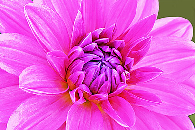Dahlia Portrait in Pink and Lavender