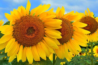 Sunflower Trio and Blue Sky