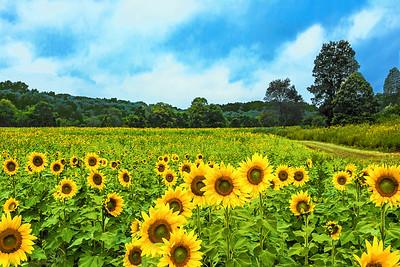 New Jersey Sunflower Eden