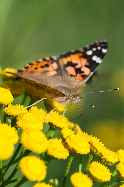 Closeup of a Painted Lady butterfly