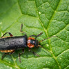 Closeup of a Soldier beetle