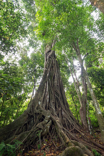 Large council tree in Laos