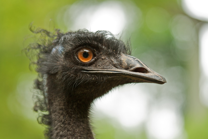 Nasty looking ostrich