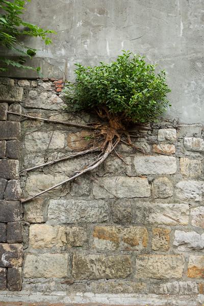 Persistent plant