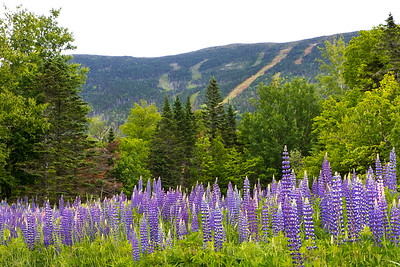 Lupine at the Saddleback base lodge