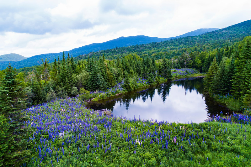 Lupine in the Western Mountains of Maine