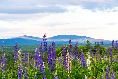 Lupine from Langtown looking towards Saddleback Mountain