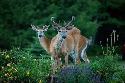 Deer in the flower garden