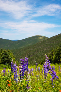 Lupine at Saddleback Mountain