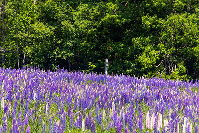 Lupine at Mingo Springs
