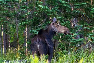 Moose along Route 16 in Rangeley