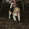 buster, beagle,