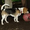 buster, beagle
