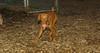 Cleo (puppy viszla)_004