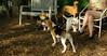 buster (beagle puppy), maddie, sambucca, marley (i)_001