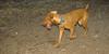 Cleo (puppy viszla)_003