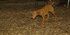 Cleo (puppy viszla)_002