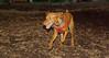cleo (viszla puppy) 001