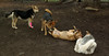 boo (puppy), trixie, lexi, maddie 004