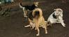 boo (puppy), trixie, lexi, maddie 002