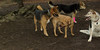 boo (puppy), trixie, lexi, maddie 003
