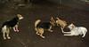 boo (puppy), trixie, lexi, maddie 005