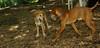 buxie (new puppy), Cleo (puppy) 004