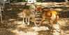 buxie (new puppy), Cleo (puppy) 001