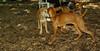 buxie (new puppy), Cleo (puppy) 003