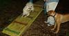 link, jack ( ridgeback puppy) 003