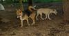 Lexi, Dixie (puppy) 001