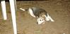 Annette (beagle 14 yr)_003
