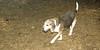 Annette (beagle 14 yr)_002