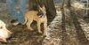 bentley (new puppy 3 month) 002