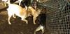 bentley ( new puppy) 002