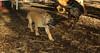 bentley (new puppy 3 month) 001