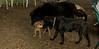 artimis, foster puppy, Max (wendy) 001