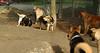 artimis (puppy), maddie 001