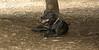 artimis (puppy) 001