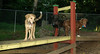buxy, louie, artimis (puppy)_004