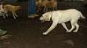 Leila (puppy wendy)_001