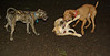 bailey, Nicky, cleo,  ( pup & puppies)_003